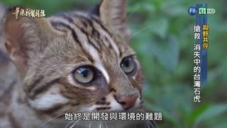 【華視台語新聞雜誌】與野共存 搶救 消失中的台灣石虎