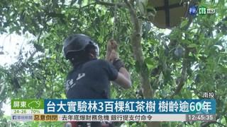 阿薩姆紅茶樹10米高 專家爬樹採茶