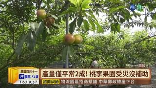 【台語新聞】收成遇雨落果! 甜桃.香水李果農喊苦