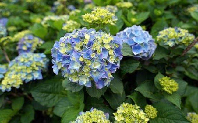 竹子湖繡球花季將開跑!上陽明山留意交管 | 華視新聞