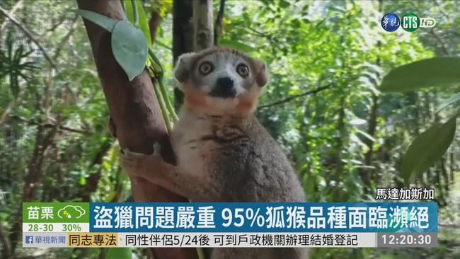 盜獵濫伐頻傳 馬達加斯加狐猴瀕滅絕 | 華視新聞