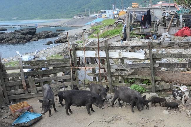 誠徵豬隊友賺獎金 蘭嶼9月開放原住民獵山豬! | 華視新聞
