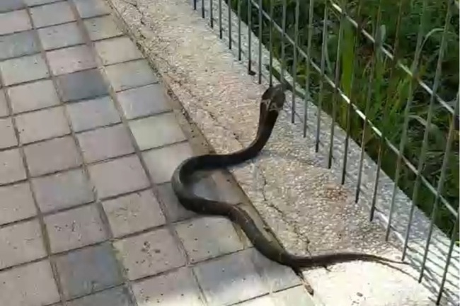 北市大湖公園驚見眼鏡蛇 民眾嚇壞揮掃把驅趕 | 華視新聞