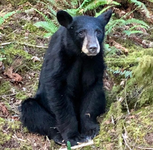 別再亂投餵!這頭黑熊慘被安樂死 | 華視新聞