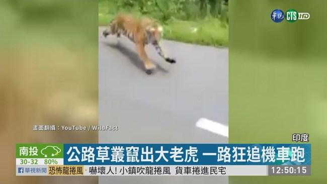 印度猛虎突竄出 一路狂追機車跑 | 華視新聞