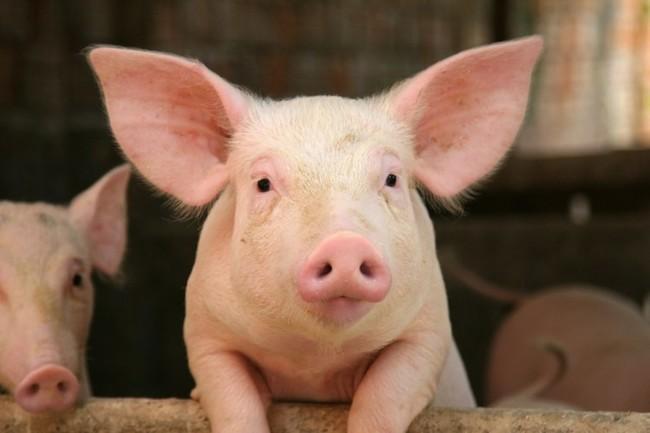 成功消滅口蹄疫!台灣豬有機會重返國際市場 | 華視新聞