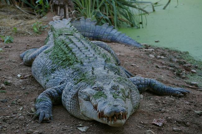 駭人!鱷魚啃食斷肢 解剖發現失蹤男遺體 | 華視新聞