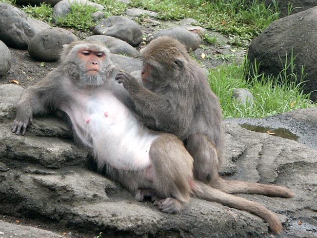 潑猴大鬧果園!台東延平徵求「驅猴人」   華視新聞