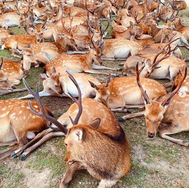 奈良鹿每日傍晚集體移動至博物館 原因不明   華視新聞