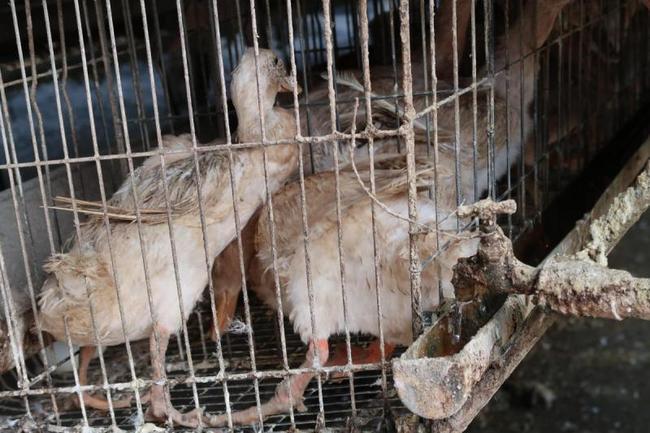 鴨隻「異常搖頭、腳蹼出血」 動保團體籲政府規範 | 華視新聞