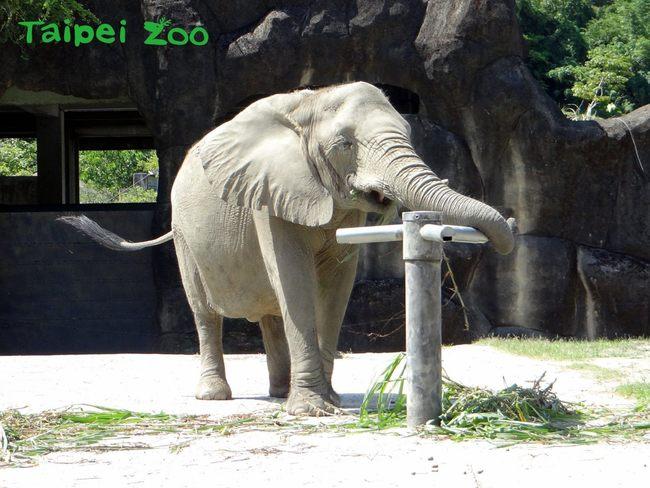 大象版「葉問」?! 象鼻打木人樁練詠春 | 華視新聞