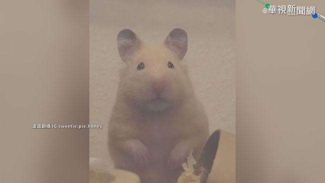 發現主人偷拍 小倉鼠直視鏡頭賣萌 | 華視新聞