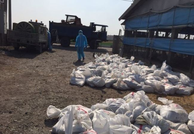 彰化土雞場爆「H5N2禽流感」 撲殺近2.5萬隻土雞   華視新聞