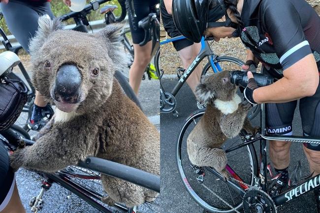 【影】澳洲野火肆虐...無尾熊渴到路上找人「要水喝」 | 華視新聞