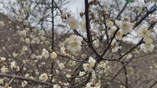 氣候異常 六龜梅花綻放.桃源櫻花開 | 華視新聞