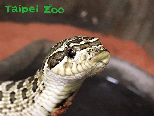 蛇界最萌!豬鼻蛇嚇不了敵人直接「裝死」 | 華視新聞