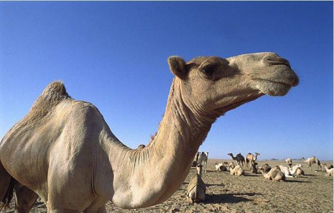 水資源不足!澳洲射殺萬頭駱駝避免搶水   華視新聞