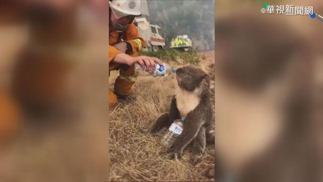 野火燒危及無尾熊 澳洲民眾組救援隊 | 華視新聞