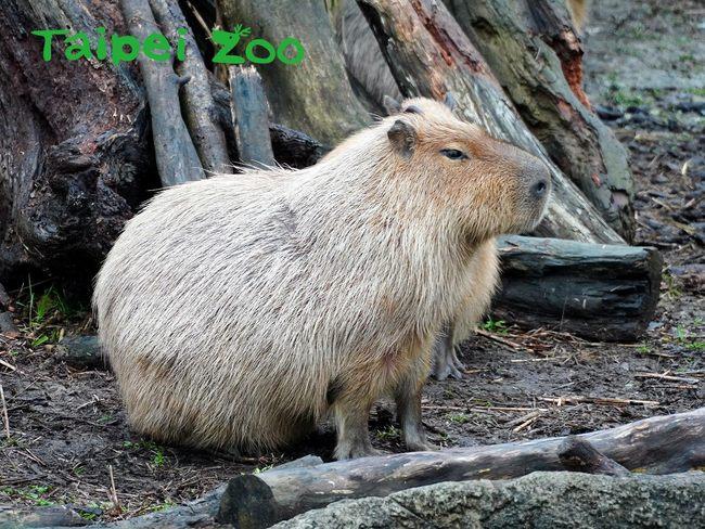 超萌水豚、豪豬是鼠不是豬!? 北市動物園鼠年特展明開跑 | 華視新聞