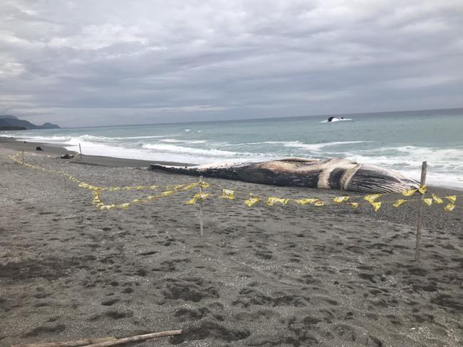 大年初一長濱發現巨大鯨魚屍體 專家:可能是藍鯨 | 華視新聞