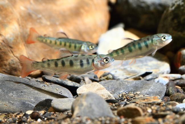 復育有成! 台灣櫻花鉤吻鮭數量破10000尾 | 華視新聞