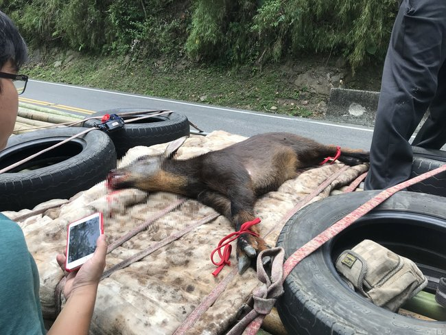 台灣特有種慘被車撞 「長鬃山羊」送醫治療   華視新聞