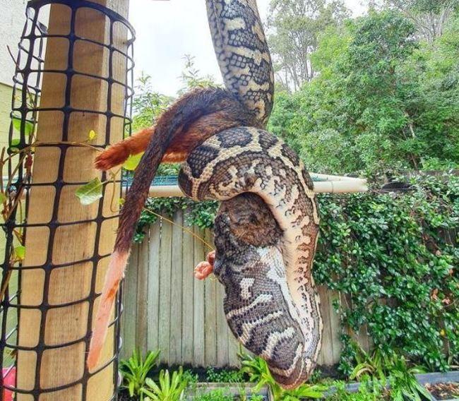 巨蟒「倒立」用餐!生吞大袋貂連捕蛇人也驚嘆 | 華視新聞
