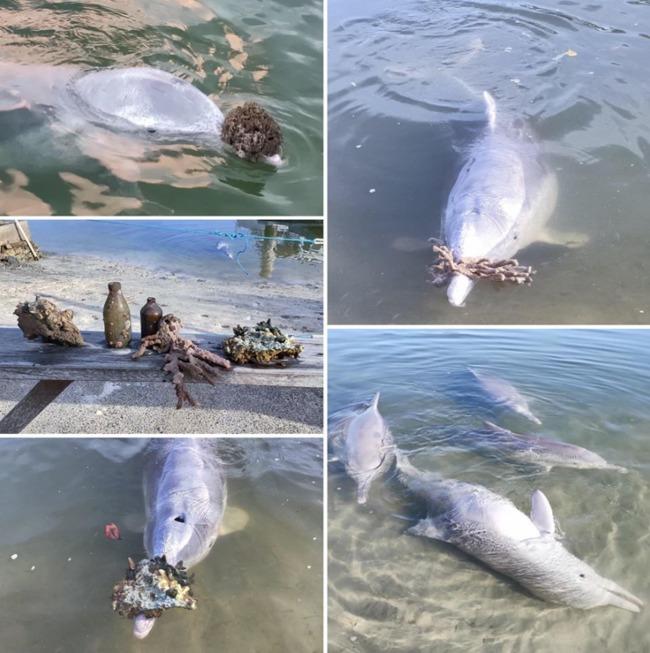 疫情波及沒遊客幫加餐 澳洲海豚狂送「寶藏」示好 | 華視新聞