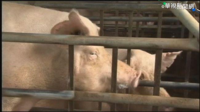 中國再傳「新型豬流病毒」 武漢專家:不用過於擔心 | 華視新聞