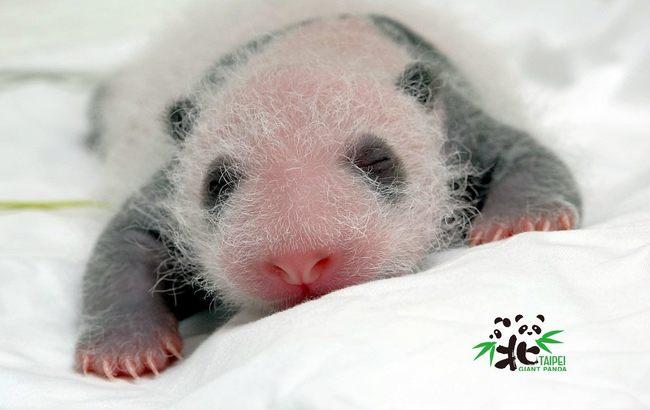 貓熊寶寶出生滿15天 怕熱踢被露屁屁睡覺   華視新聞
