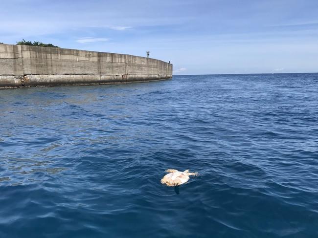 極危海龜玳瑁翻肚海上浮沉亡...背甲嚴重破裂 | 華視新聞