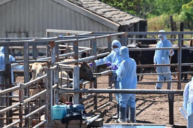 全力防堵牛結節疹! 金門今啟動疫苗注射   華視新聞