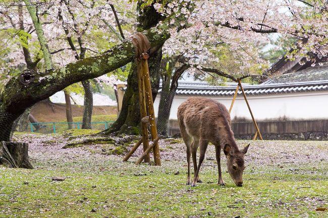 吃不到仙貝就吃草! 奈良鹿群漸回歸野生   華視新聞