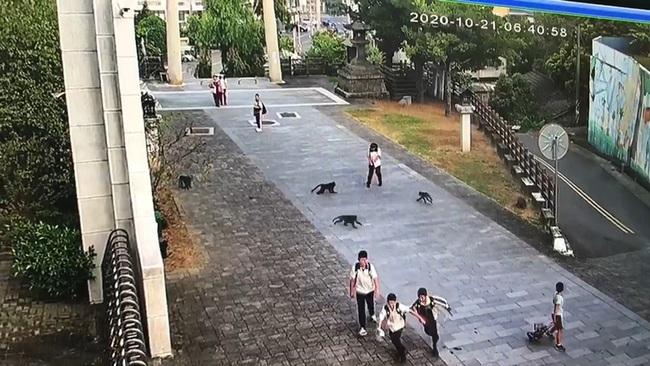超囂張!近30隻獼猴入侵校園 還想搶學生早餐   華視新聞