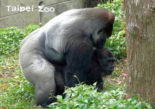 雙喜臨門!北市動物園慶誕生小金剛猩猩寶寶   華視新聞