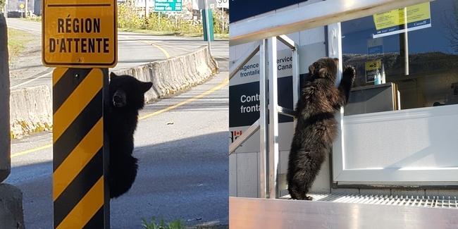 太可愛! 小熊越境被抓...沒帶證件不能過   華視新聞