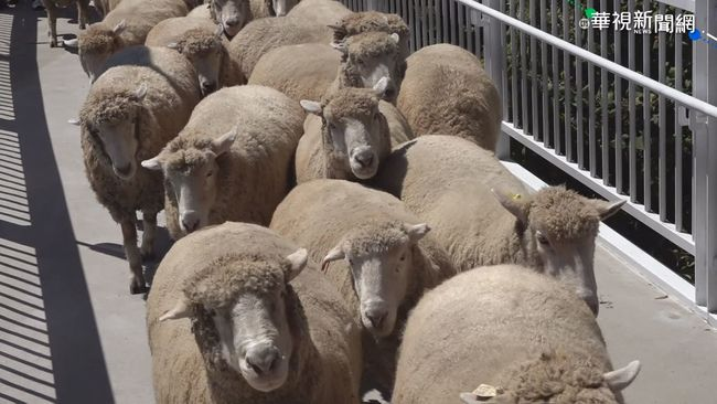 清境綿羊秀爭議 馮世寬:不可能取消 羊也很喜歡   華視新聞