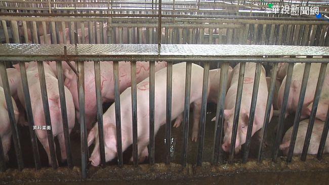網傳「廚餘養豬使台灣豬變萊豬?」 農委會闢謠 | 華視新聞