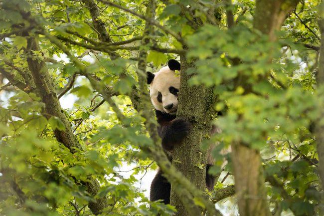 養大貓熊年燒3800萬 英動物園打算約滿「返中」 | 華視新聞
