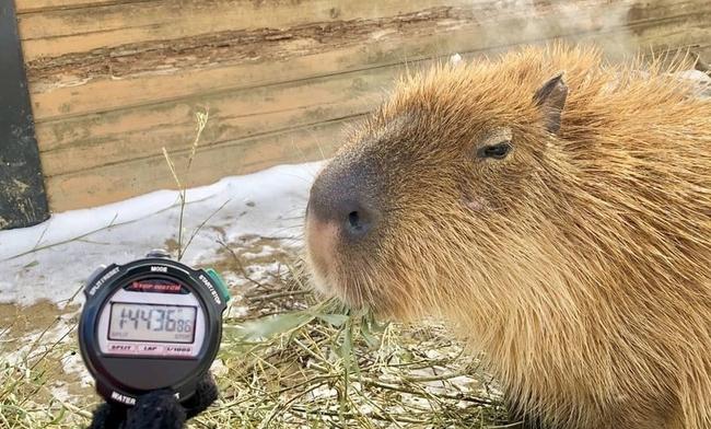 日本動物園辦水豚泡湯比賽 冠軍爽泡104分鐘! | 華視新聞