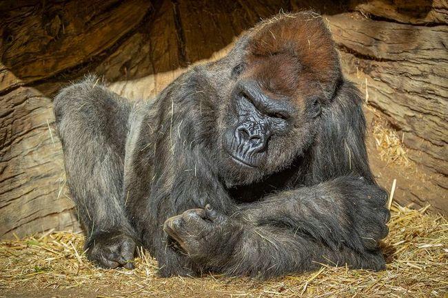 全球首例!大猩猩確診新冠肺炎 疑遭無症狀人員傳染 | 華視新聞