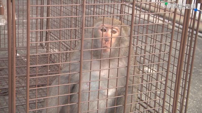 馬國男嬰遭野猴攻擊 倒臥血泊腸子外露 | 華視新聞