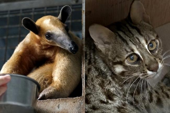 食蟻獸小紅、石虎飛飛平安回家 動物園曝最新復原狀況   華視新聞