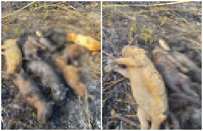 屏縣9隻幼犬疑遭惡意燒死 眾人大罵:燒狗下地獄   華視新聞