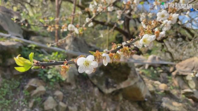 遊客為拍美照狂搖梅樹 園主封園護梅 | 華視新聞
