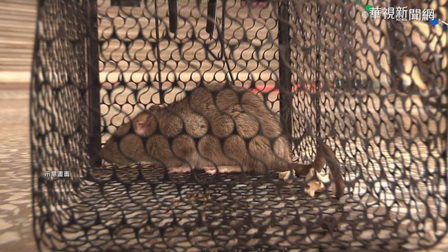 高雄五旬男染漢他病毒 住家抓出14隻老鼠   華視新聞