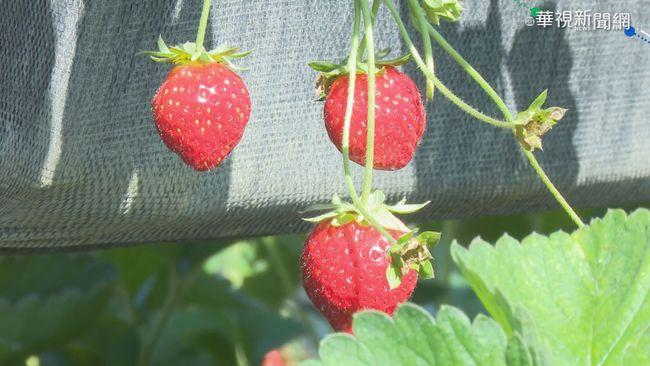 「苗栗採草莓攻略」來了! 公路總局:10點前避塞車 | 華視新聞