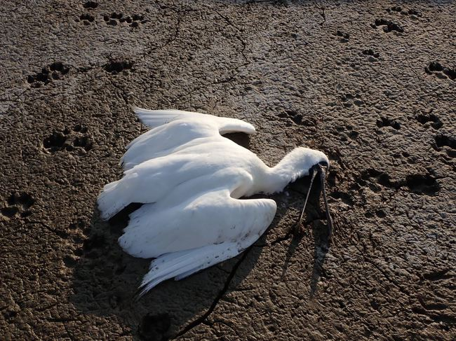 嘉義黑面琵鷺6天死7隻 初判為肉毒桿菌所致   華視新聞