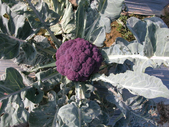 逛超市見「紫色花椰菜」 網:葡萄口味? | 華視新聞