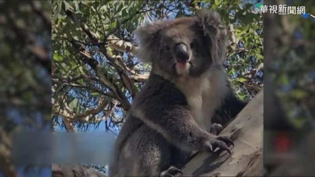 澳洲無尾熊肇事 亂闖公路害連環撞 | 華視新聞